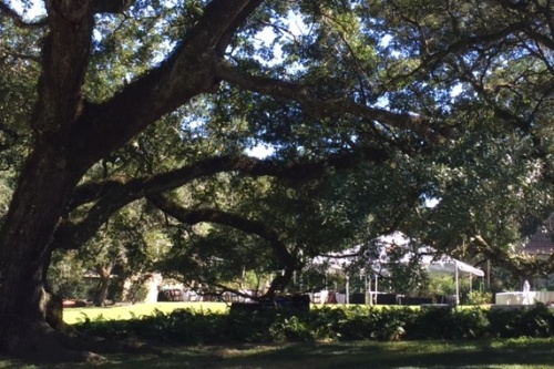 Peeking through the grandmother oak to the wedding prep next door.