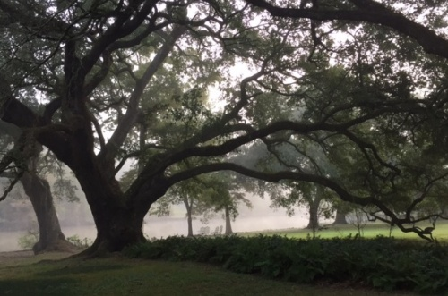 grandmother-oak-in-fog