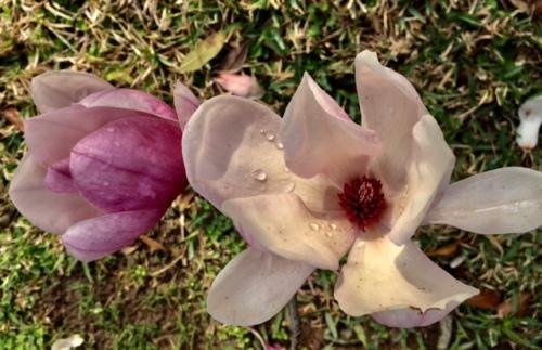 j-magnolia-dew